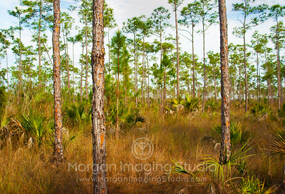 Endangered Slash Pine, Everglades