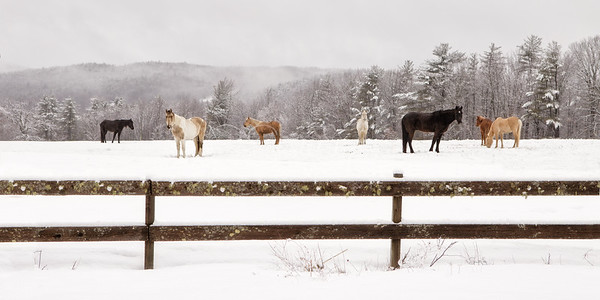 Gaited Horses on a Snowy Morning