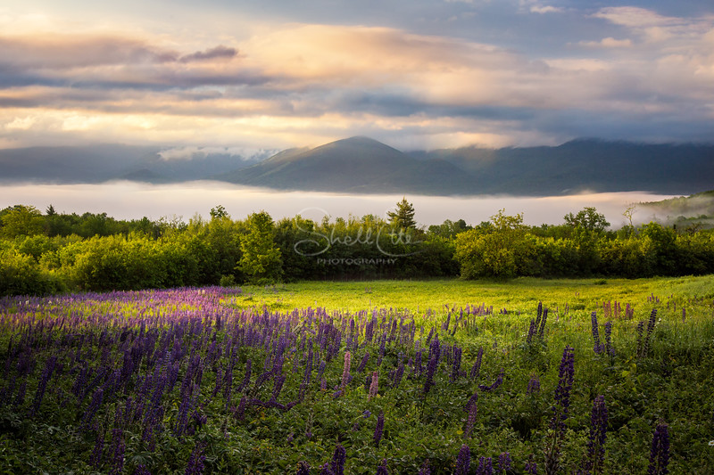Franconia Valley Lupines Fog