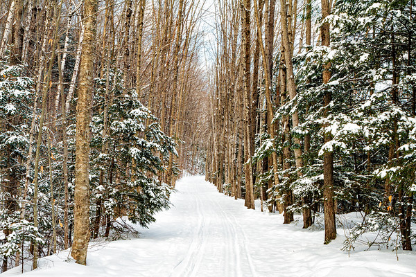Through the Winter Birches, Lincoln Woods