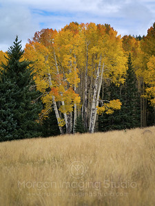 Evergreen Framed Aspens
