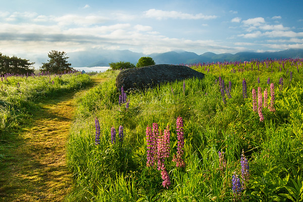 Path Through the Lupines to Fog Valley
