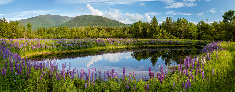 Pond of Lupines and Mt Madison