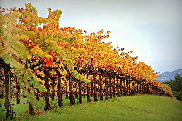 Dutcher Creek Vineyard