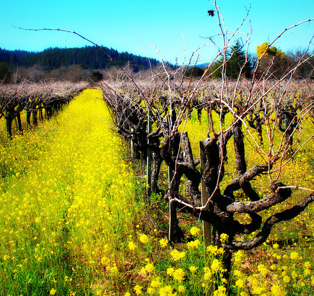 Mustard Flowers in Vineyard