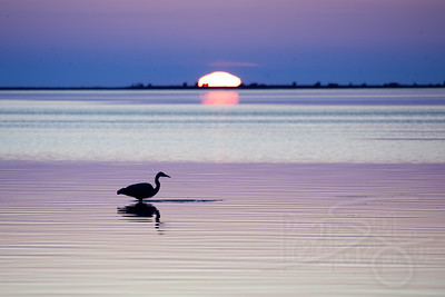 Heron at sunset. Drayton Harbor. Blaine, WA