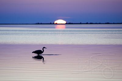 Heron at sunset. Drayton Harbor. Blaine, WA