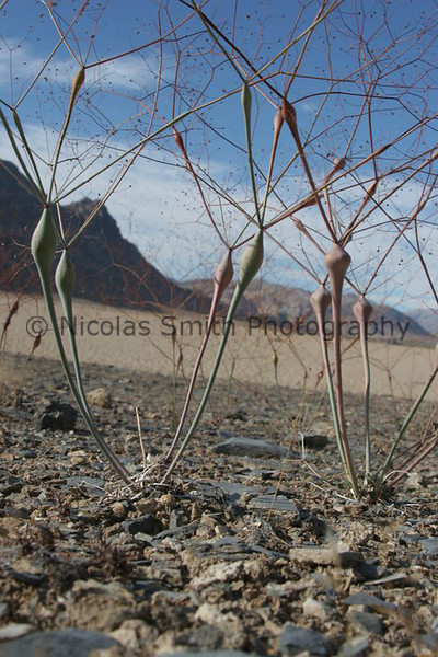 "Weeds: Racetrack, Death Valley, 2005;  These colorful plants are alongside the 'shore' of the dry lake bed known as the Racetrack in a remote area of Death Valley.  The famed ""moving rocks"" are on the lakebed beyond these plants.  *All images and gift items print without the watermark*"