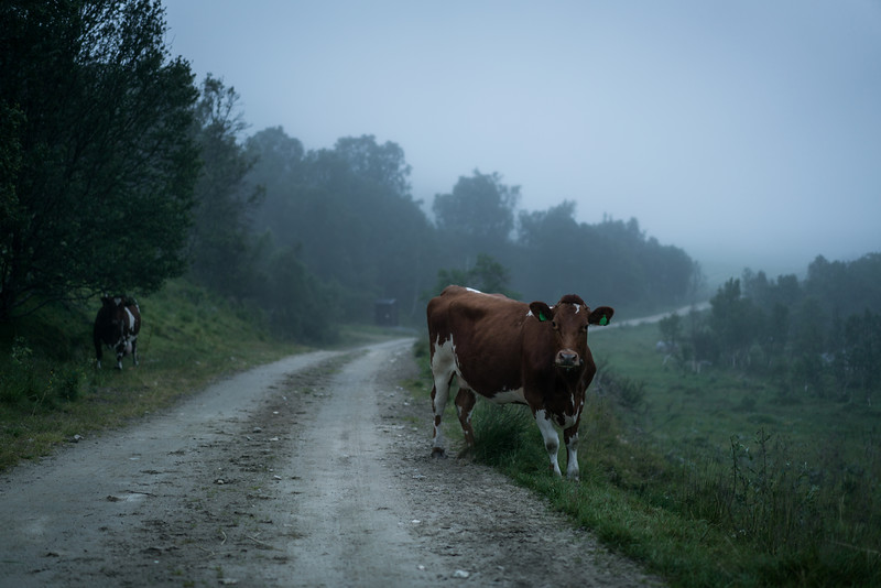Nordtinden Cow