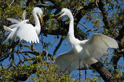 Egrets at Alligator Farm