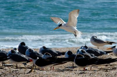 Vilano Beach Terns