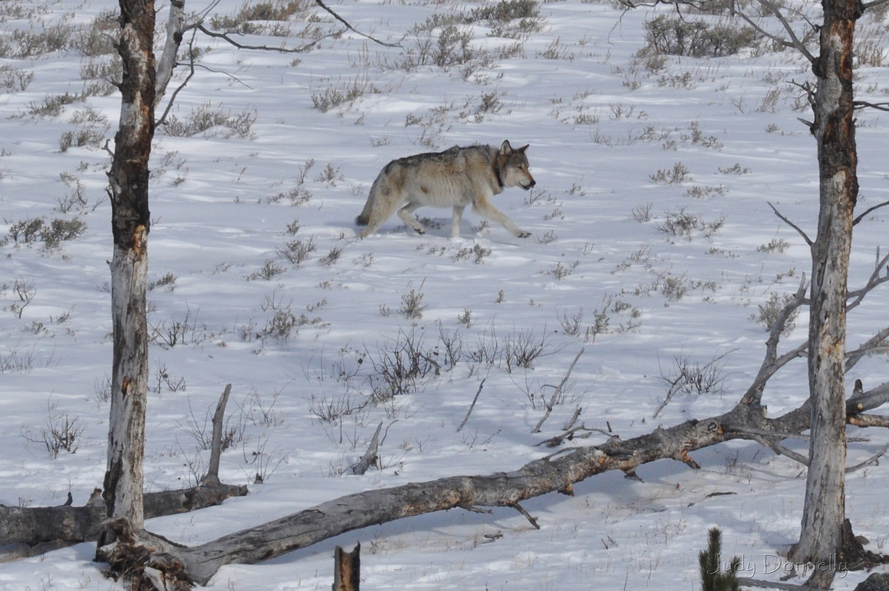 Blacktail Pack Wolf