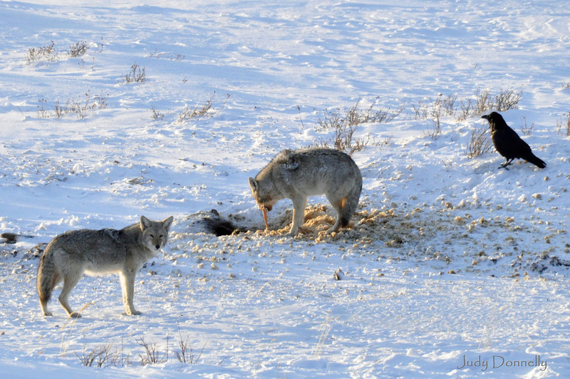 Coyotes found a carcass from an animal that fell through some ice.