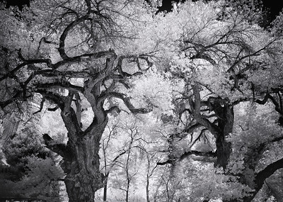 Cottonwood Sentinels