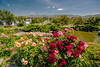 Roses in Local City Park and skyline of Boise