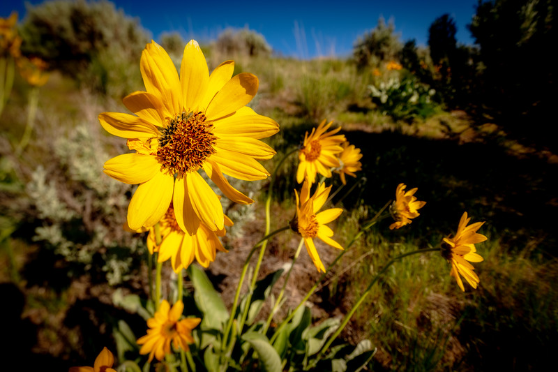 Close up of a bouquet of yellow Arrowleaf Balsamroot in nature