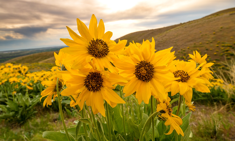 Backlit sunflowers with setting sun sky and hills