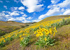 Spring flowers cover a hillside with yellow