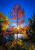 Unique red colored pine tree in autumn color with sun star
