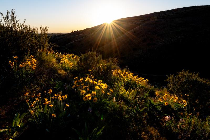 Set creates a sunburst as it slips below the horizon above a field of wildflowers