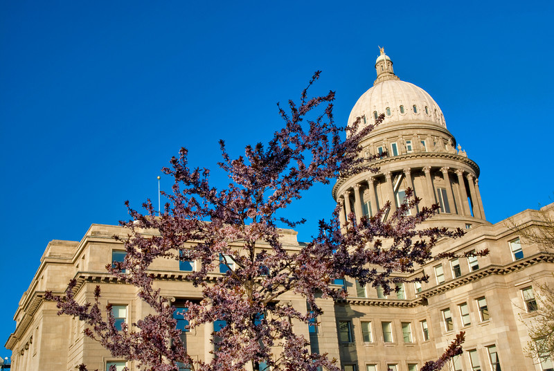 Spring flowers on a tree in front of the capital building