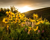 Yellow flowers of the Balsomroot reach for the sun as it sets