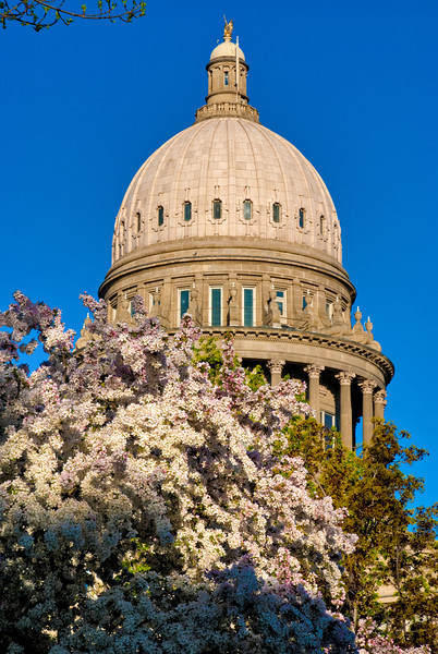 Capital Building with Flowering Tree