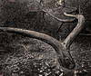 Diverging Tree
