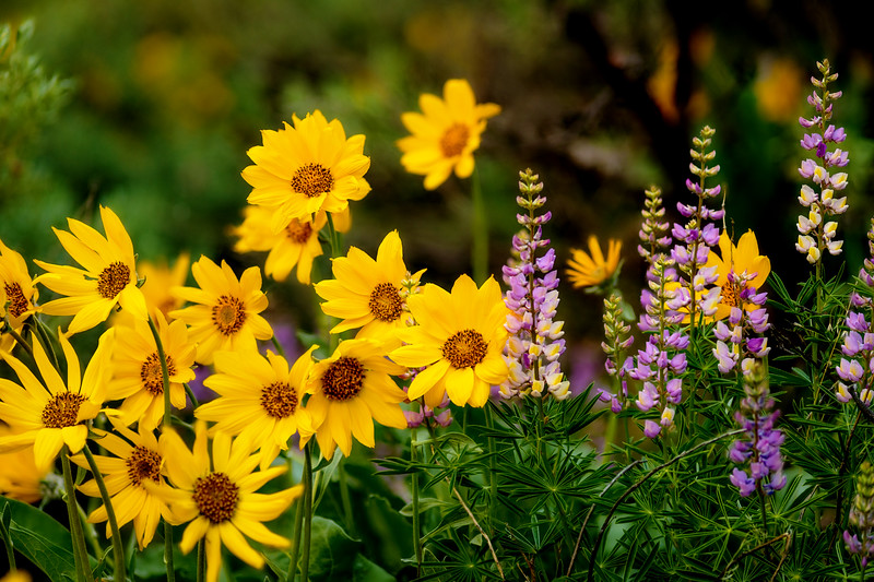 Yellow and purple windflowers in the shade of evening spring time