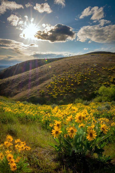 Arrowleaf Balsamroot and setting sun star