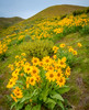 Yellow wildflowers in the foothills over Boise Idaho in the spring