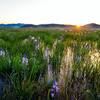 Sunrise over a Camas Lilly Marsh in Spring