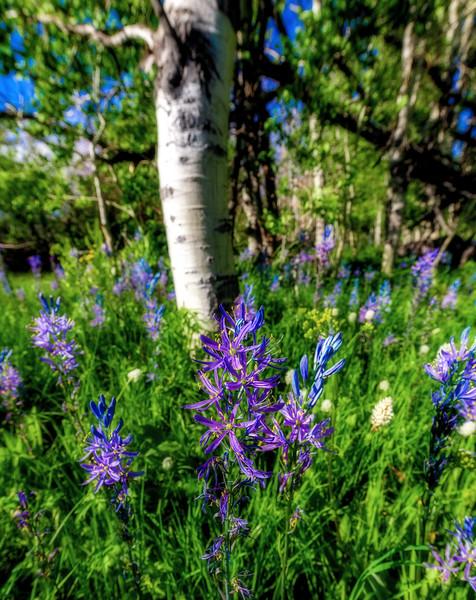 Close up of Purple Camas Lilies in Aspen grove