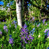 Close up of Purple Camas Lilies in Aspen grove