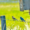 Idaho mountain bluebird on a fence