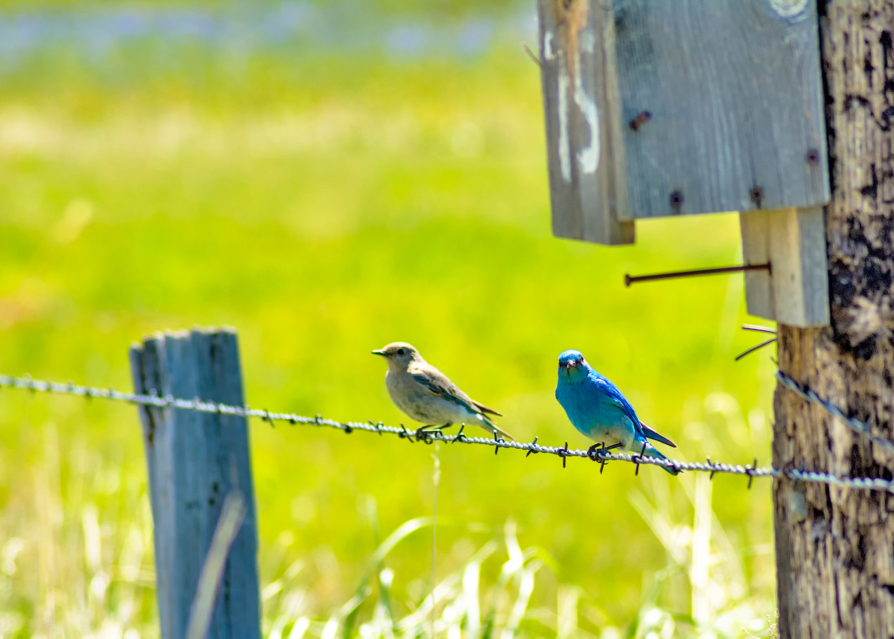 Idaho mountain bluebird on a fence