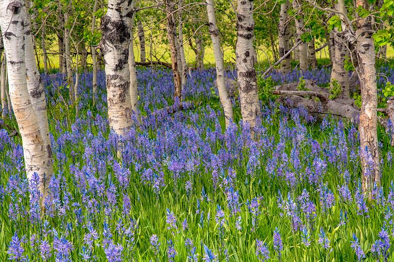 Blooming Camas Liliess in an Aspen grove