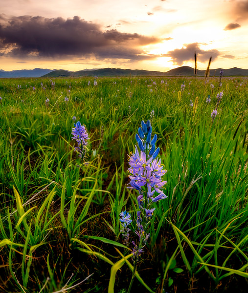 Sunrise over the Centennial Marsh with blooming Camas