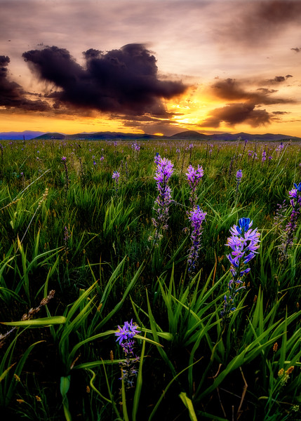 Purple Camas at Centennial Marsh sunrise