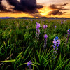 Purple Camas at Centennial Marsh sunrise