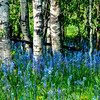 Camas Aspen grove in the Spring time