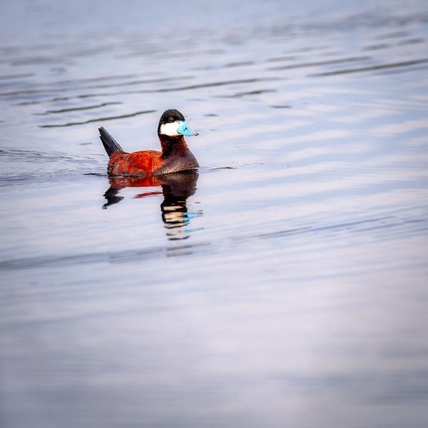 Ruddy Duck on a pond in Centennial Marsh