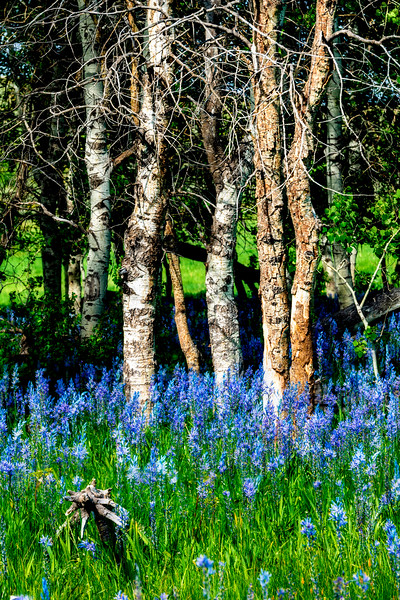 Aspen trees grow from a wild flower covered with Camas Lily