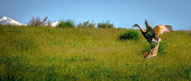 Sandhill Cranes at Centennial Marsh