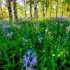 Camas Lilly amongst a sea of other in an Aspen grove