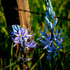 Spring Camas in bloom and fence post