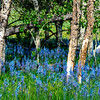 Natural Camas Lilies grow in a unique grove of Aspen trees