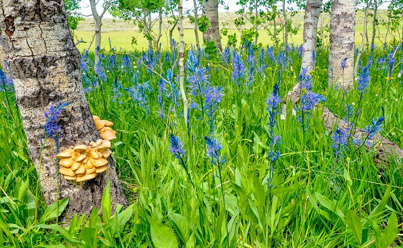 Mushrooms on Aspen Tree