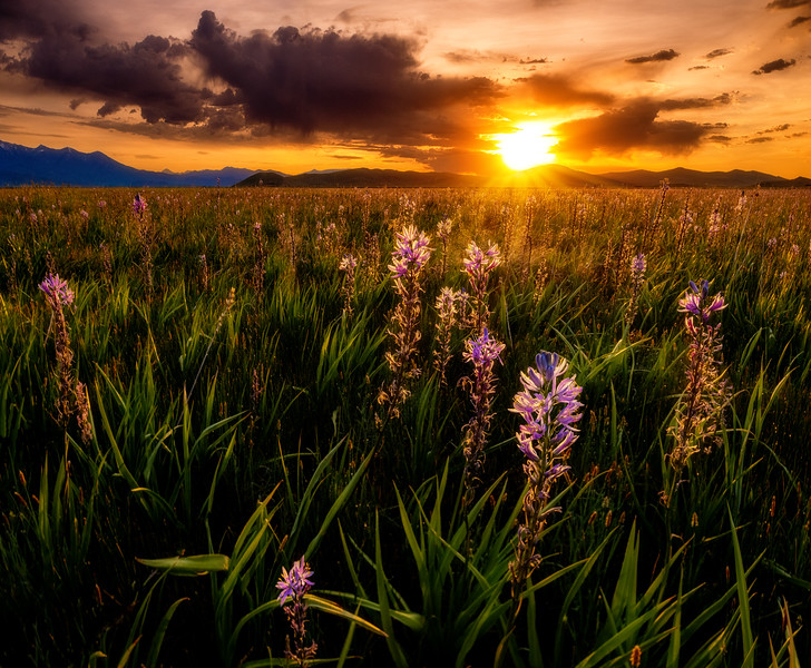 Backlit Camas flowers in the rising sun