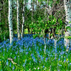 Ground covered with Camas Lily leading into a forest of Aspen trees